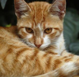 Un gato pelirrojo (archivo)