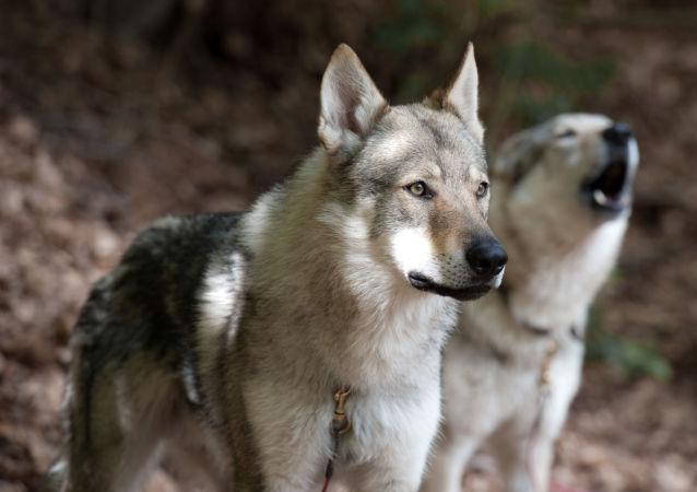 Unos lobos