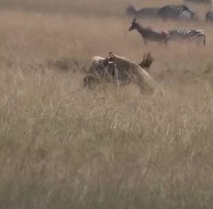 Una leona ataca a un ñu
