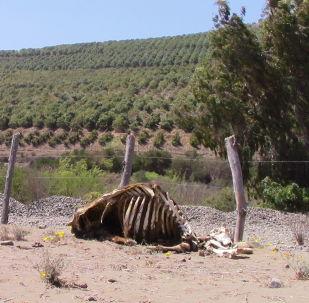 Localidad de Cabildo, Chile - contraste entre plantación de paltos y ganado muerto por sequía