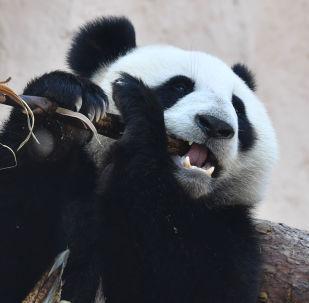 Un oso panda del Zoo de Moscú