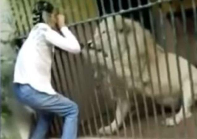 Un león agarra al empleado de un zoológico por el brazo