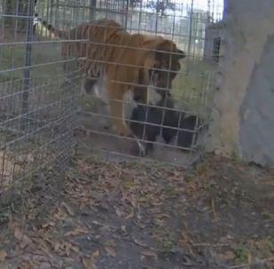 Un tigre ataca a un buitre