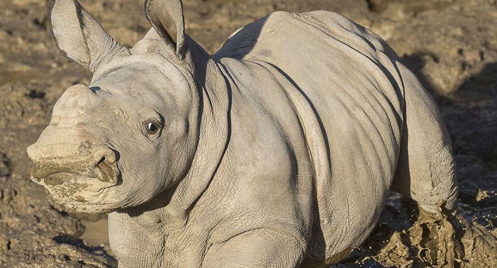 Future, el más nuevo rinoceronte del zoológico de San Diego