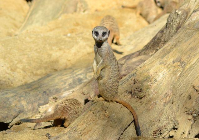 Una suricata. Imagen referencial