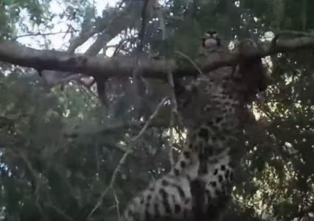 Un babuino ataca a un leopardo