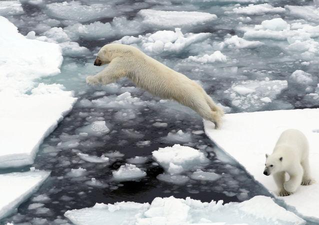Unos osos polares en Chukotka