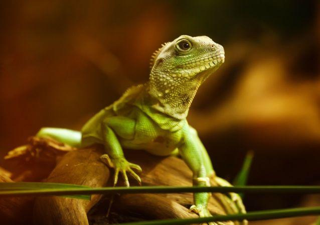 Un lagarto (imagen referencial)