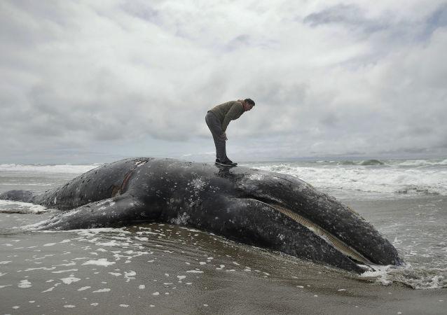 Ballena gris muerta en la bahía de San Francisco