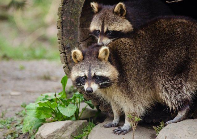 Un par de mapaches