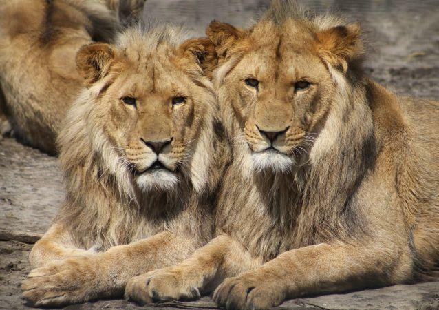 Dos leones