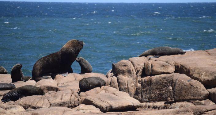 Lobos marinos en Cabo Polonio