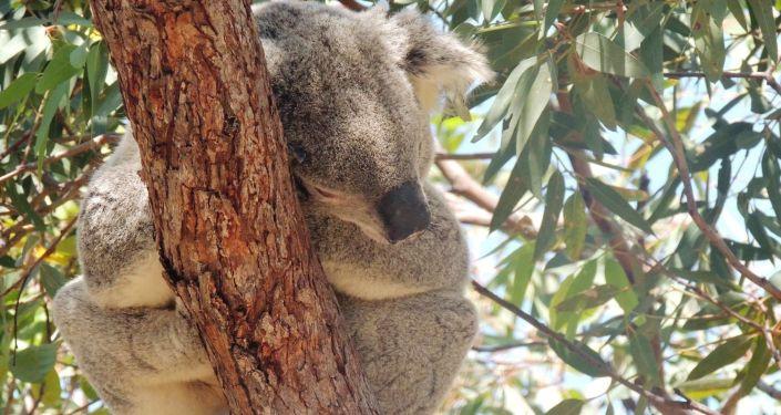 Koala, uno de los marsupiales icónicos de Australia