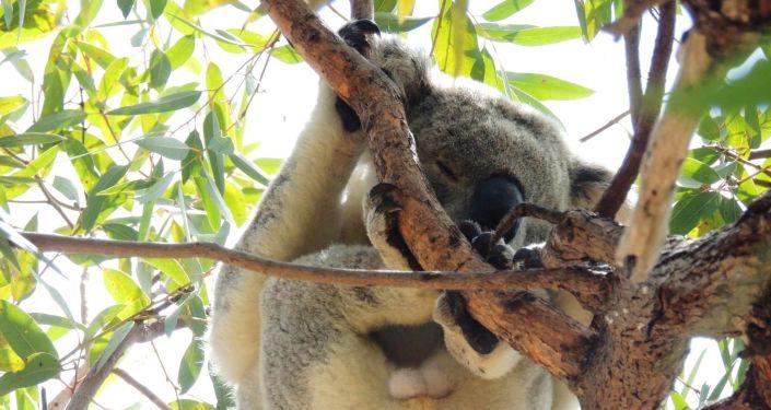 La cuarta parte de los koalas australianos murieron en los incendios