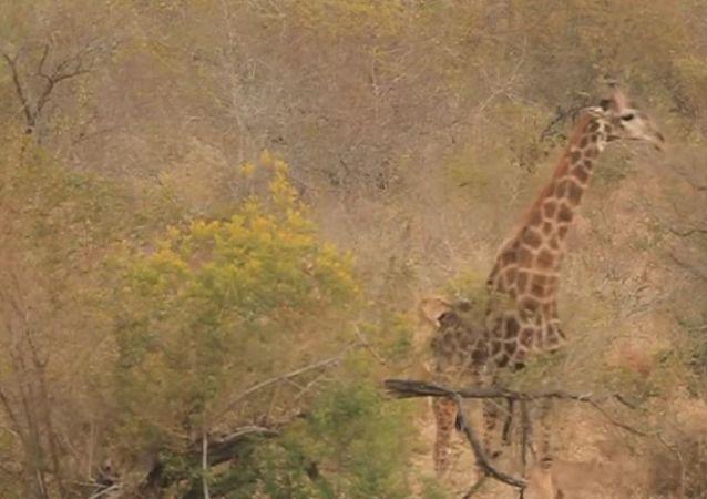 Una leona ataca a una jirafa