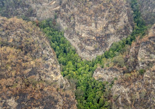 Arboleda de pinos Wollemi en Australia, única en el mundo