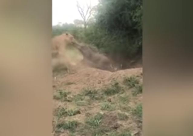 ¡Pobre Pumba! Un león hambriento saca a un facóquero de su madriguera