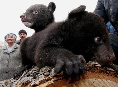Asian black bear cubs in safari park in Primorye