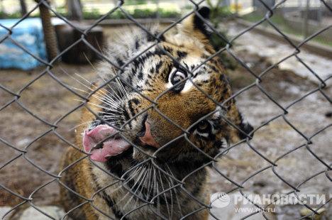 Тигрица Маша, подаренная Владимиру Путину