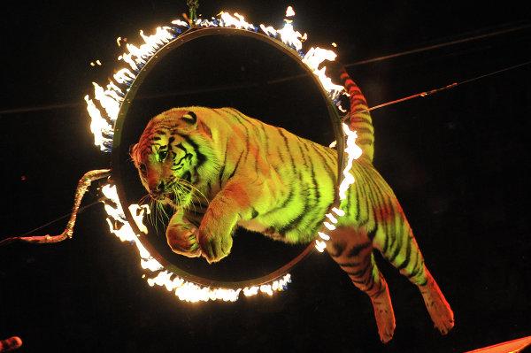 Шоу Королевские тигры Суматры в Сочинском государственном цирке