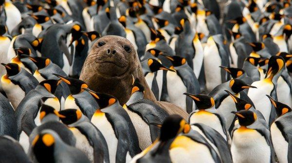 Морской котик среди пингвинов на одном из Тасманских островов, Австралия