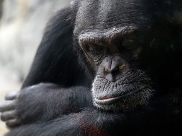 Самка шимпанзе в зоопарке Хьюстона