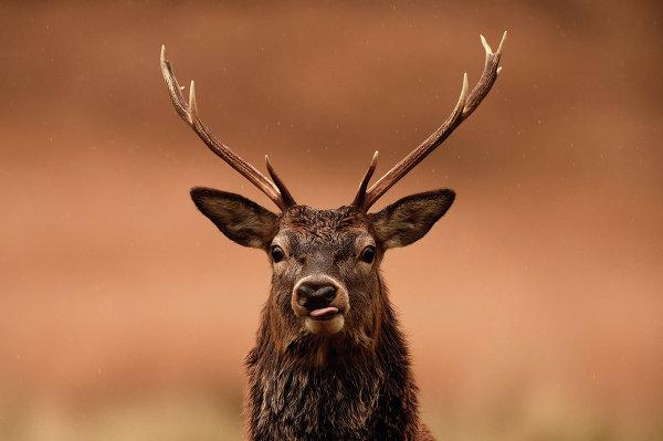 Благородный олень пасется в Глен Этив, Шотландия