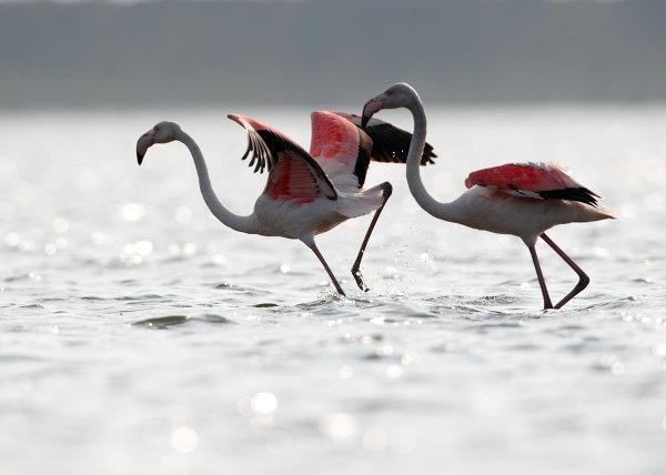 Фламинго во время подготовки к миграции в Китае