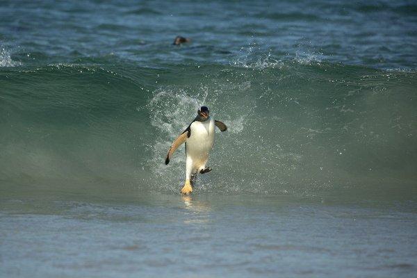 Пингвин-серфер на Фолклендских островах