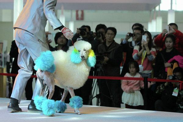 Пудель на 18 сессия международной выставки домашних животных в Пекине