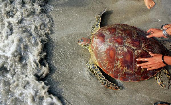 Морская черепаха на пляже Бали, Индонезия