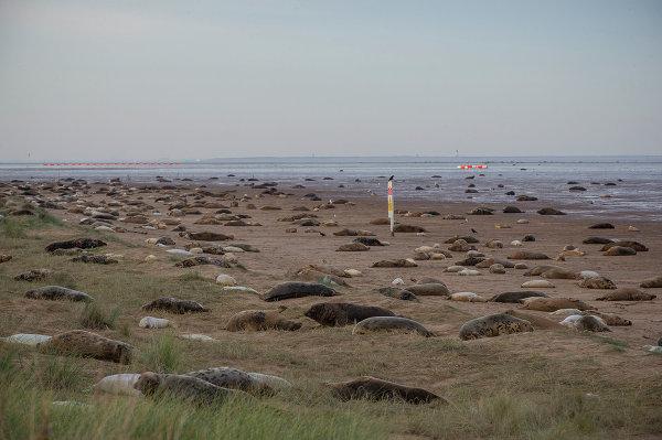 Лежбище серых тюленей на пляже заповедника Линкольншир на востоке Англии, ноябрь 2014