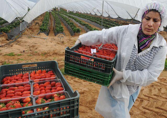 Una mujer marroquí recoge fresas en Huelva