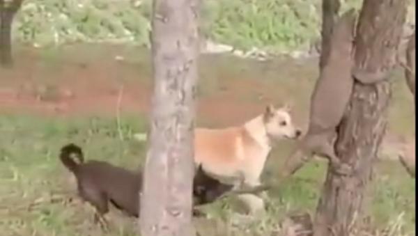 Dos perros atacan a un lagarto - Sputnik Mundo