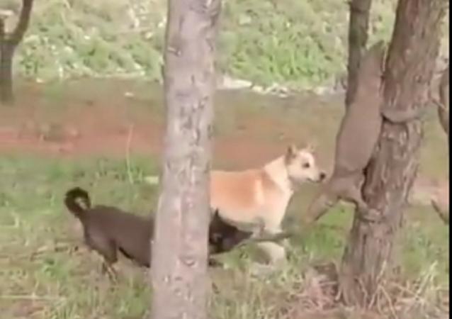 Dos perros atacan a un lagarto