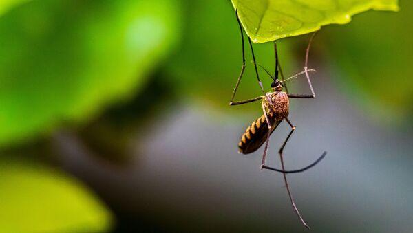Un mosquito (imagen referencial) - Sputnik Mundo