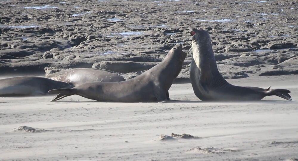 Dos elefantes marinos en una costa de Argentina