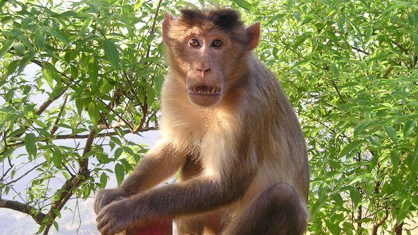 Un mono (imagen referencial) - Sputnik Mundo