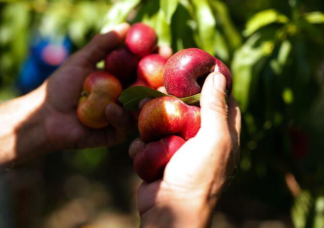 Un temporero recolecta frutos en la temporada de verano en Fraga (España)