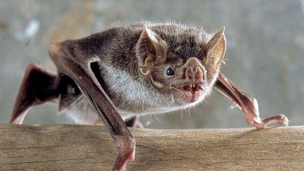Murciélago de la especie 'Desmodus rotundus', conocido como vampiro común - Sputnik Mundo