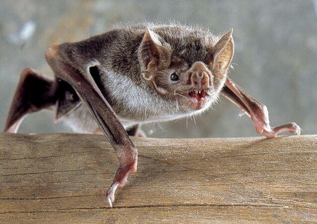 Murciélago de la especie 'Desmodus rotundus', conocido como vampiro común