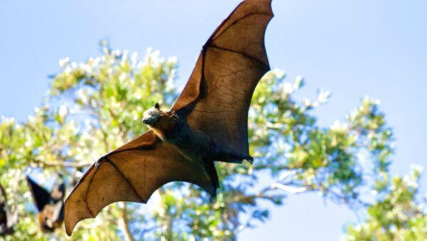 Un murciélago (imagen referencail) - Sputnik Mundo
