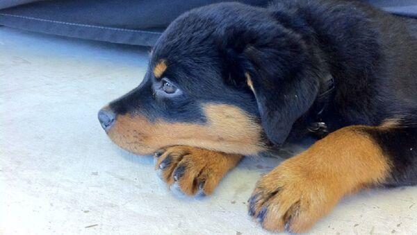 Un cachorro de Rottweiler - Sputnik Mundo