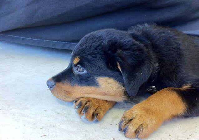 Un cachorro de Rottweiler