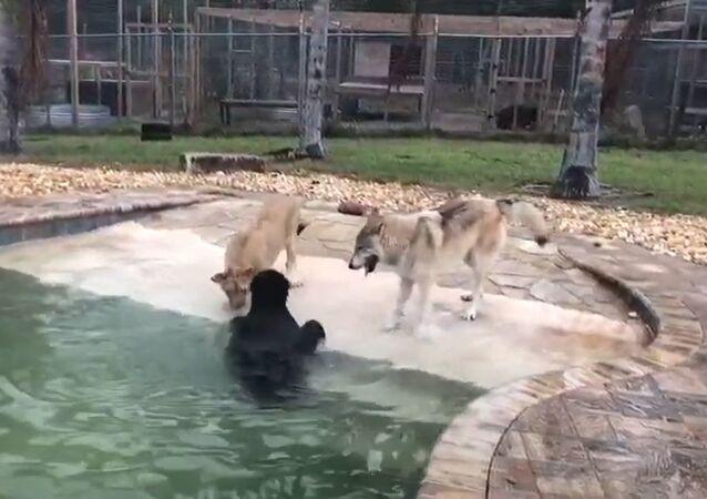 La amistad entre un oso, una león y un lobo