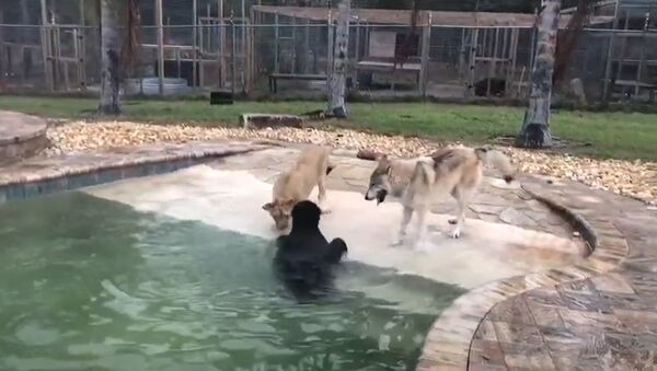 La amistad entre un oso, una león y un lobo - Sputnik Mundo