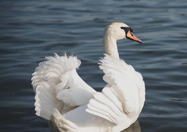 Un cisne (archivo)