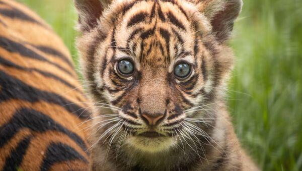 Bestias en peligro: el mundo celebra el Día Internacional del Tigre - Sputnik Mundo