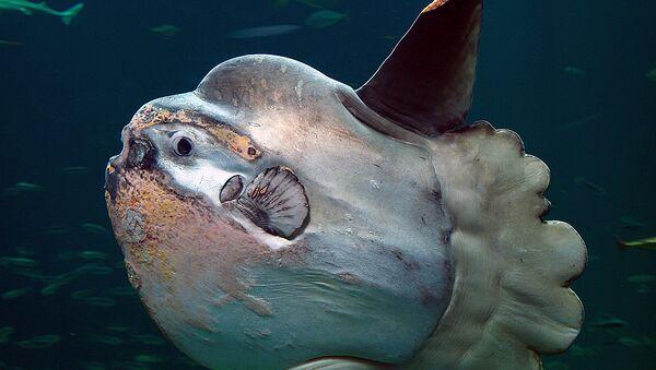 Un pez luna - Sputnik Mundo