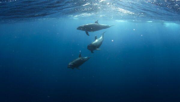 Delfines en el mar (imagen referencial) - Sputnik Mundo